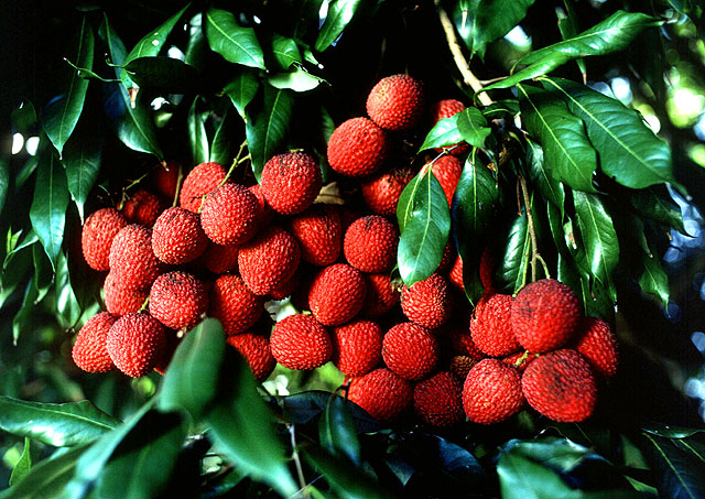 أشجار الفاكهة Lychee